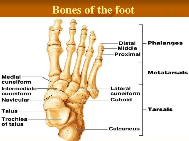 7 Anatomy Of The Leg And Dorsum Of The Foot