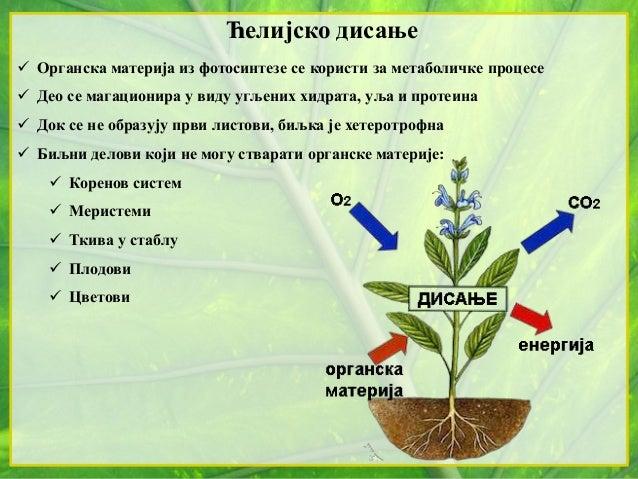 Ћелијско дисање  Органска материја из фотосинтезе се користи за метаболичке процесе  Део се магационира у виду угљених х...