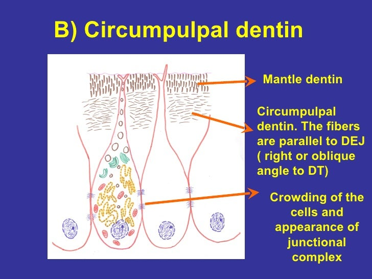 7 Dentinogenesis