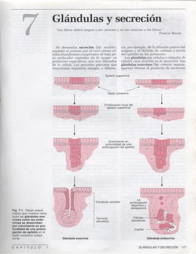 7 glandulas-y-secrecion1