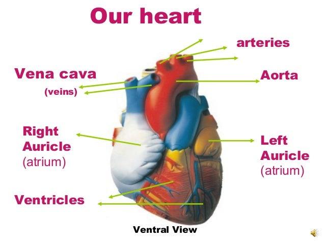 7 heart&circulation nu