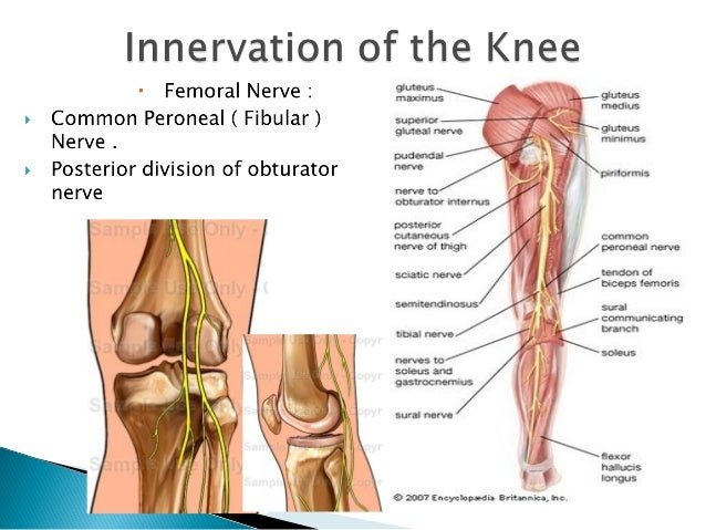 Knee Nerves Diagram Including - House Wiring Diagram Symbols •