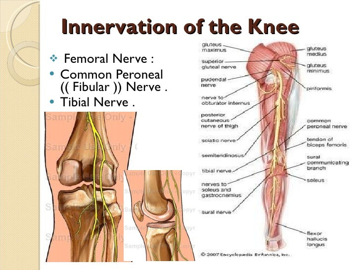 Innervation of the Knee <ul><li>Femoral