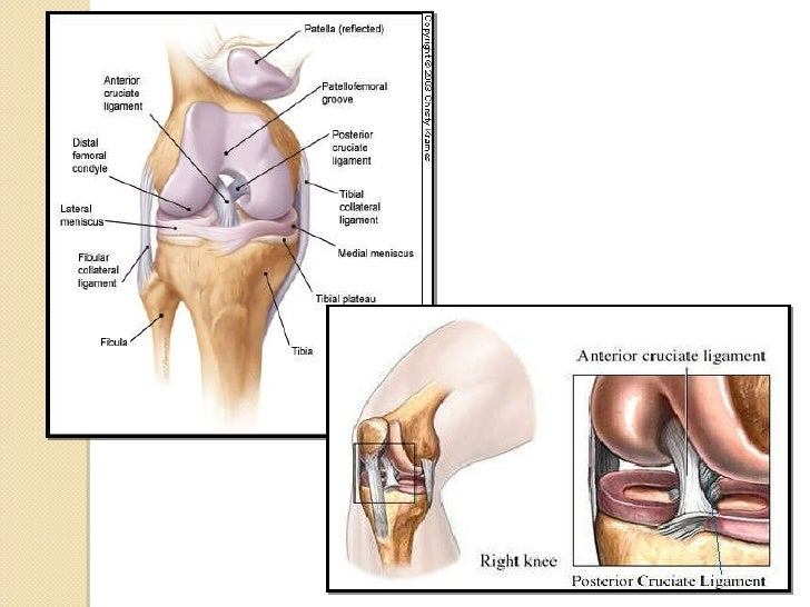 Anatomical Components of the Knee