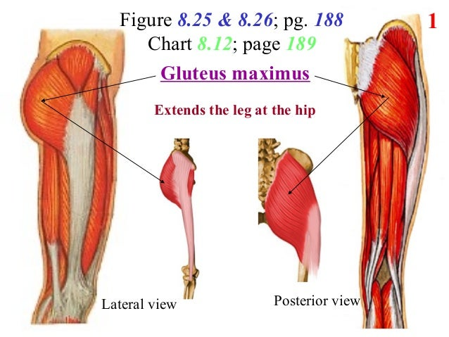 Figure 8.25 & 8.26; pg. 188 Chart 8.12; page 189 1 Lateral view Posterior view ?? Function?Extends the leg at the hip Glut...