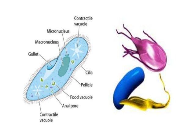 Protozoa >> Protozoa