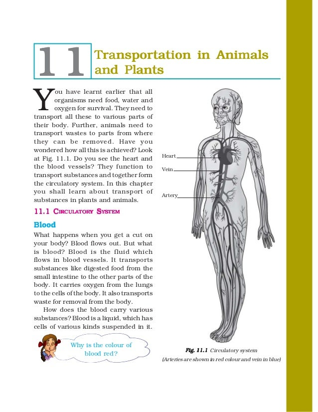 11                    Transportation in Animals                      and PlantsY        ou have learnt earlier that all   ...