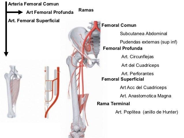 Vascularización e inervación del miembro inferior