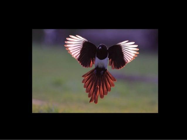 719 - Magpie
