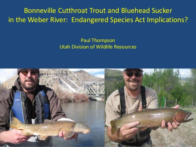 Bonneville Cutthroat Trout and Bluehead Sucker in the Weber River: Endangered Species Act Implications? Paul Thompson Utah...