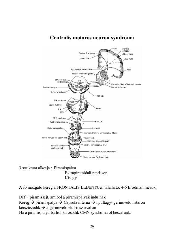 Centralis motoros neuron syndroma3 struktura alkotja : PiramispalyaExtrapiramidali rendszerKisagyA fo mozgato kereg a FRON...