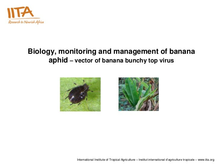 Biology, monitoring and management of banana      aphid – vector of banana bunchy top virus             International Inst...