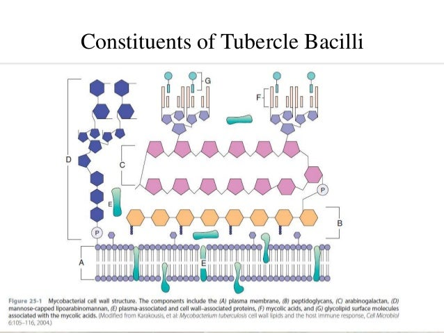 Mycobacterium Tuberculosis Structure