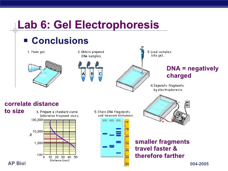 gel electrophoresis lab Start studying gel electrophoresis lab learn vocabulary, terms, and more with flashcards, games, and other study tools.
