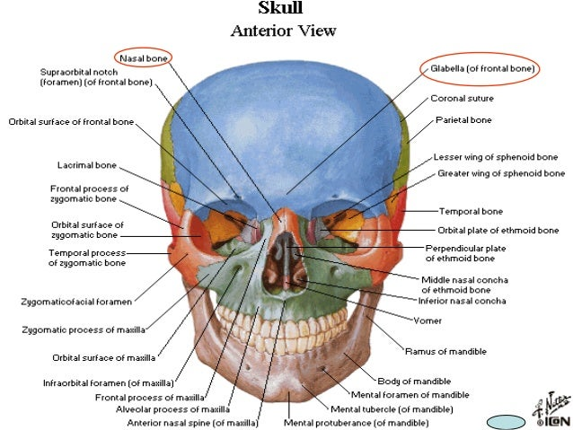 7938279 Boneofthecranialcavity in addition Nasal Septum as well Body Planes Diagram in addition 2023299 together with Thorax206. on frontal view of body cavities
