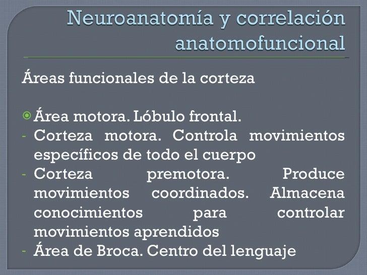 <ul><li>Áreas funcionales de la corteza </li></ul><ul><li>Área motora. Lóbulo frontal. </li></ul><ul><li>Corteza motora. C...