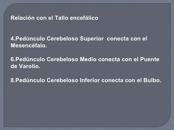 <ul><li>Relación con el Tallo encefálico </li></ul><ul><li>Pedúnculo Cerebeloso Superior  conecta con el Mesencéfalo. </li...