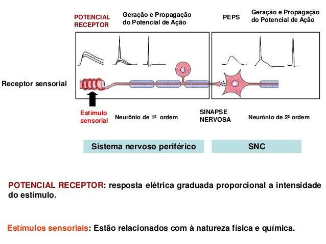 Propriedades dos ReceptoresDecodificam vários aspectos relacionados aos estímulos:intensidade, duração, etc.              ...