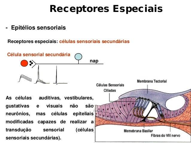  Quanto menor for o campo receptivo, mais preciso será a localização da sensação.                    A) Localização      ...