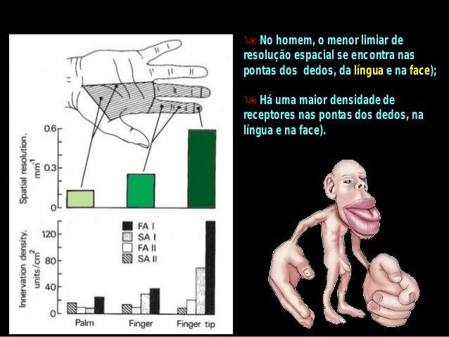 Por que a representação é distorcida?A distorção nas figuras representativas é proporcional à densidade dereceptores senso...