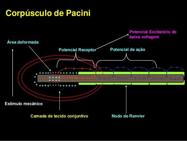 Classificação dos receptores cutâneos quanto à resposta    ao decurso temporal e intensidade do estímulo