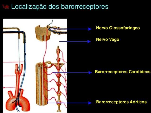 Proprioceptores detectam:  - Tensão muscular (Órgão tendinoso de Golgi);  - Comprimento muscular (Fuso Muscular);  - Ângul...