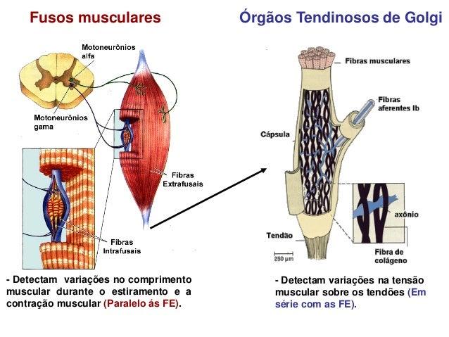 """Assim, os receptores nervosos distribuídos pelo corpo """"despertam"""" inúmeras sensações tanto             nos seres humanos ..."""