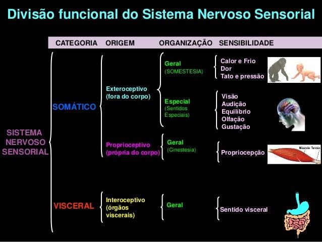 Divisão funcional do Sistema Nervoso Sensorial            CATEGORIA   ORIGEM            ORGANIZAÇÃO SENSIBILIDADE         ...