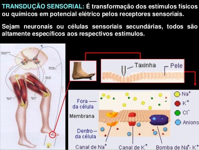 TRANSDUÇÃO SENSORIAL: É transformação dos estímulos físicosou químicos em potencial elétrico pelos receptores sensoriais.S...