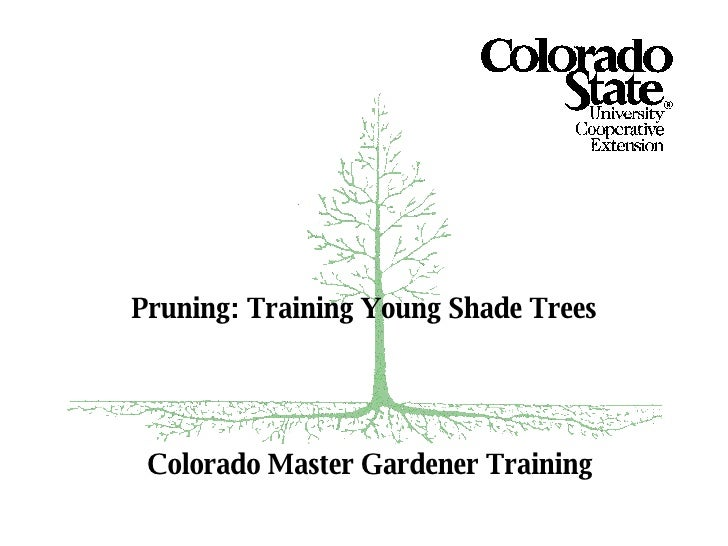 Colorado Master Gardener Training Pruning: Training Young Shade Trees
