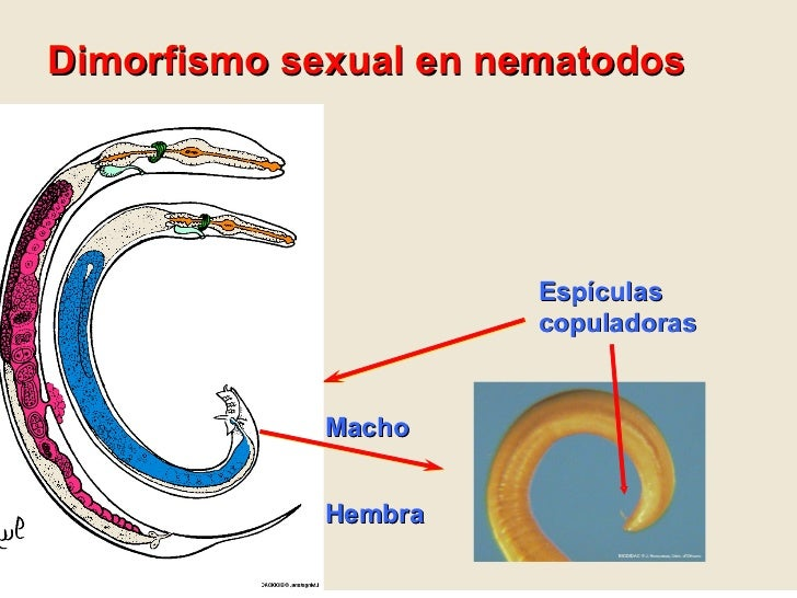 clase nematodos