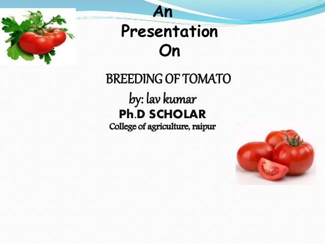 An Presentation On BREEDING OF TOMATO by: lav kumar Ph.D SCHOLAR College of agriculture, raipur