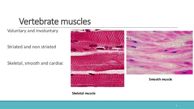 vertebrate comparative anatomy of muscular system, Muscles