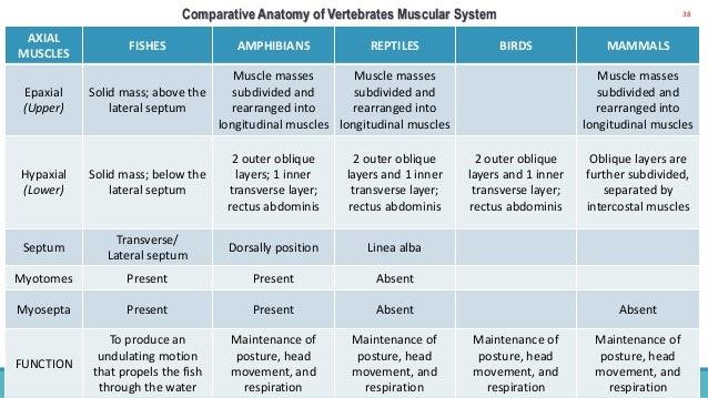 Vertebrate Comparative Anatomy Of Muscular System