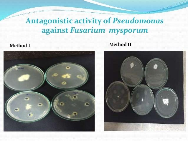 Antagonistic activity of Pseudomonas against Fusarium mysporum Method I Method II