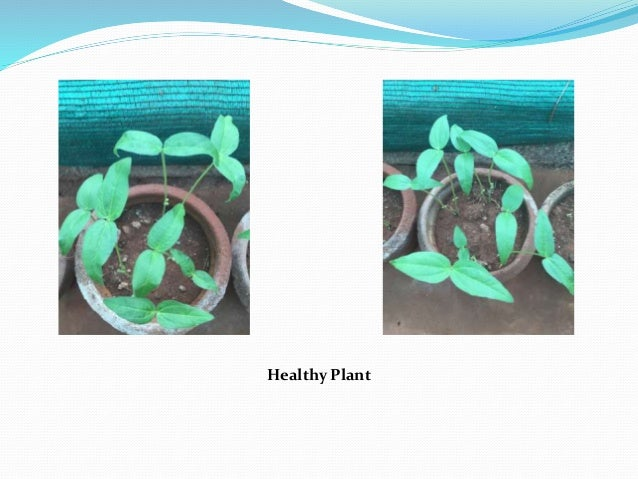 Healthy Plant