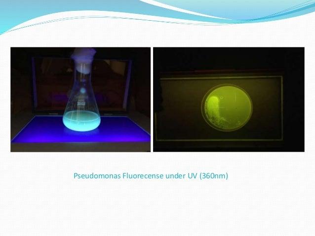 Pseudomonas Fluorecense under UV (360nm)