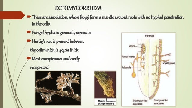 ECTOMYCORRHIZA Theseare association, where fungi forma mantlearound roots withno hyphal penetration in the cells. Fungal...