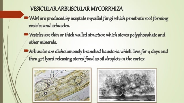 VESICULAR ARBUSCULARMYCORRHIZA VAMare produced by aseptate mycelial fungi whichpenetrateroot forming vesicles and arbuscl...
