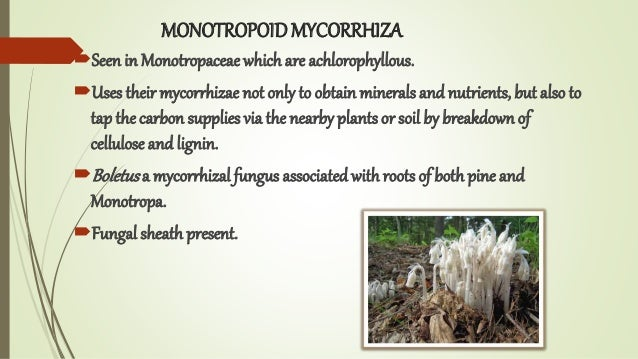 MONOTROPOIDMYCORRHIZA Seen in Monotropaceae which are achlorophyllous. Uses their mycorrhizae not only to obtain mineral...
