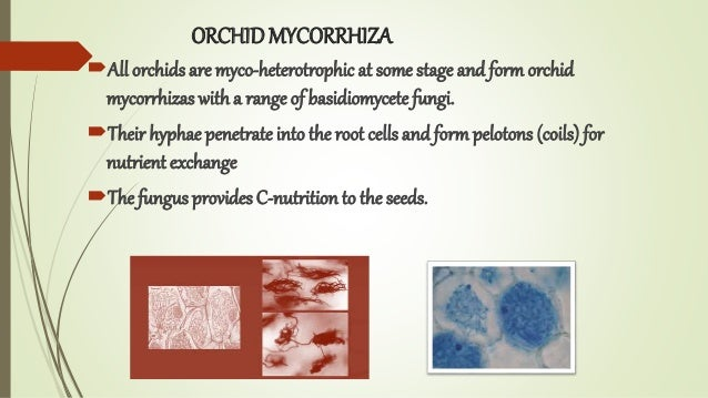 ORCHIDMYCORRHIZA All orchids are myco-heterotrophic at some stage and formorchid mycorrhizas with a range of basidiomycet...