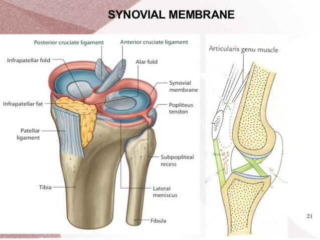 Knee joint rishi pokhrel synovial membrane 21 22 bursae around knee joint ccuart Gallery