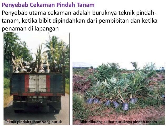 Ebook cara menanam kelapa sawit