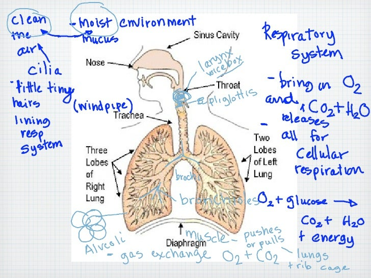 Trail Guide 3.9.10                          7th   Morning Hike: on pg # 88 What is the function of the respiratory System?...