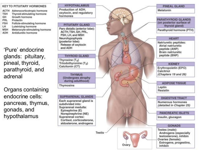 8 Endocrine System on pancreas location human body diagram