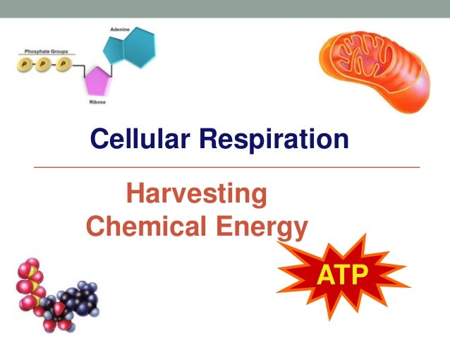 Cellular Respiration  Harvesting  Chemical Energy  ATP