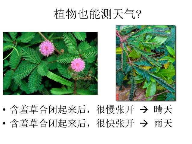 植物也能测天气? • 含羞草合闭起来后,很慢张开  晴天 • 含羞草合闭起来后,很快张开  雨天