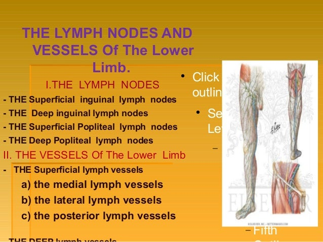 Blood vessel, Innervation and lymph system of lower limb