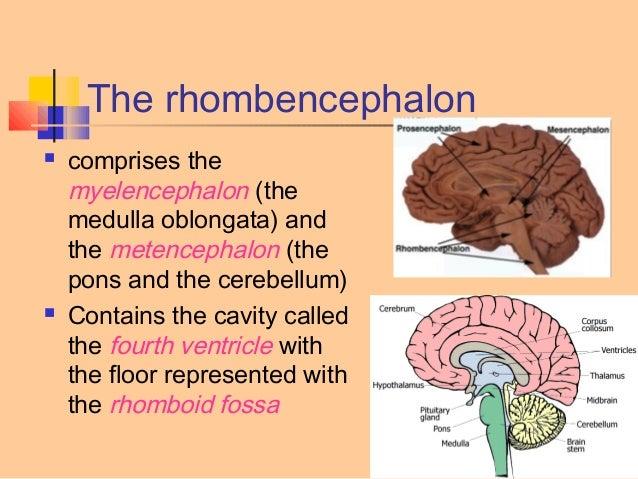 Structure of Rhombencephalon. Development of Brain.