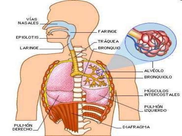 Lujo Sistemas De órganos Importantes Cresta - Anatomía de Las ...